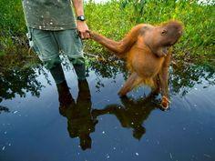 orangutan-orphan-Brilliant-photography-from-Natgeo-archives