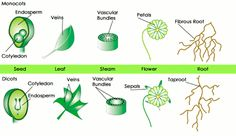 SparkNotes: Plant Classification: Tracheophytes Monocot vs. Dicot