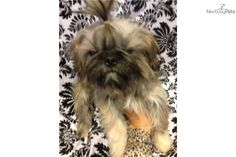Looking for an older puppy? Already potty & crate trained? Zucchelli is a full grown 9 mo. old 7lb Imperial Shihtzu. Priced to move to make room for new puppies! Shipping is FREE this weekend!