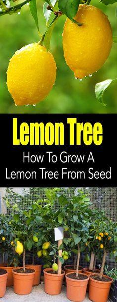 Grow your own lemon tree!