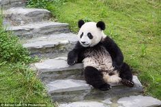 Thanks to the nature reserves in China, a new generation of panda cubs are being raised
