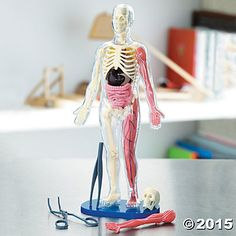 Squishy Human Body Model with Quiz Cards