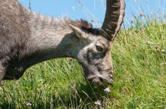 In grasslands remade by humans, animals may protect biodiversity: Grazers let in the light, rescue imperiled plants