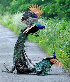 Male Peacocks having a tiff.