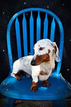 This is an extreme piebald Dachshund. I have one named Wilber. His red patches are over his ears and eyes. He has a spot on his back too. Otherwise, he is totally white. He attracts a lot of attention. People ask me if they can take his picture.