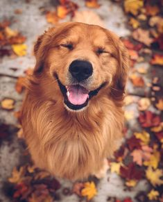 Golden retrievers bring the smiles! - Golden retrievers bring the smiles! Golden retrievers bring the smiles! Chien Golden Retriever, Golden Retriever Puppies, Funny Golden Retrievers, American Golden Retriever, Golden Retriever Training, Dog Wallpaper, Puppies Wallpaper, Animal Wallpaper, Cute Dogs And Puppies