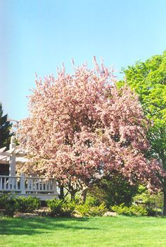 Malus Red Splendor Flowering Crabapple: best of pink in national study
