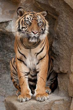 Siberian tiger: largest cat in the world. (Excluding Liger hybrids)