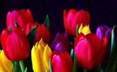 Tulips - Flowers Wallpaper ID 452155 - Desktop Nexus Nature Red Tulips, Tulips Flowers, Flower Petals, Colorful Flowers, Beautiful Flowers, Flowers Pics, Spring Flowers, Beautiful Things, Flowers Wallpaper