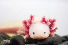 If you're looking for something different and adorable for your aquarium, the axolotl is sure to please. Learn about these fascinating amphibians, from their biology to specific keeping tips in Josh Wiegert's article, Axolotls: Keeping a Water Monster. Photo Courtesy: Sergio Gutierrez Getino/Shutterstock