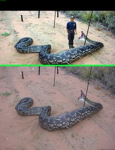 Fake - Man was added to an enlarged image of an African Rock Python caught in a electric fence as seen in the bottom image. Also circulating with a false story of this snake eating a zookeeper.