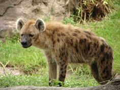 The Hyena are cunning animals