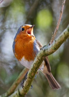 https://flic.kr/p/7Tmfsq | Robin - Singing Supreme - Explored! | Caught this Robin Singing on our day out on Monday. Not the best of shots with muted colour and a low shutter speed but I liked that it was singing.  Canon 7D, 300mm + 1.4x TC, ISO 400, Cropped to 6.4Mpx
