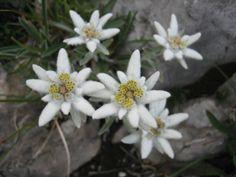 Leontopodium alpinum... Edelweiss