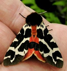 Garden tiger moth - Arctia caja The best color combinations are inspired by nature, love this