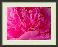 Pop Of Pink Peony Framed Print By Margaret Newcomb #cards #prints #canvasprints #framedprints #posters #pink #peonies #fineartamerica #wallart #homedeco