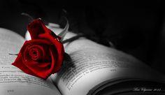 Rose... - OGQ Backgrounds HD