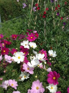 Cosmos and sweet peas beginning to flower.
