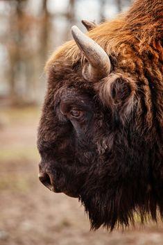 """Wisent"" by Naturfotografie - Stefan Betz on Flickr - Brown Buffalo"