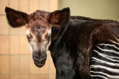 Oni, the 50th Okapi calf born at Belgium's Antwerp Zoo, is part of a worldwide effort to save this rare species.  More at ZooBorns.com and at http://www.zooborns.com/zooborns/2014/01/antwerp-zoo-welcomes-50th-okapi-calf.html
