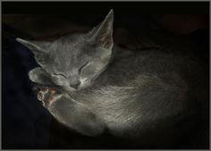 Sleeping Russian Blue male, only seven weeks old.