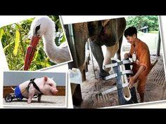 Las Prótesis dan Segunda Oportunidad a los Animalitos