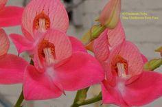 Albiflora.be - Unidiorosa Rosy Face -