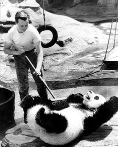 Chi Chi the panda at London Zoo. Always saw him at the Zoo and when he died, Dad took me to see him at the Natural History Muesuem