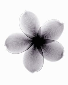 Photo : X-ray image of plumeria flower