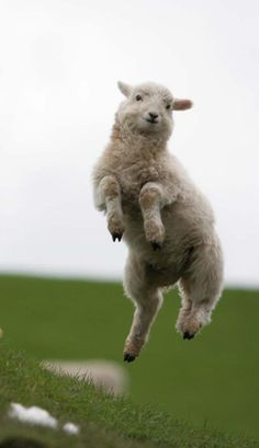 I see this sheep leap with different backgrounds so at least one of them is photoshopped. It still makes me smile though and we can't have too many of those in this world!