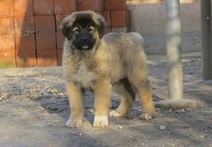 3 months old. 3 Month Olds, Mountain Dogs, 3 Months, Puppies, Female, Pets, Animals, Cubs, Animales