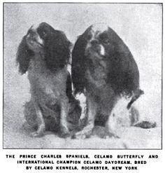 King Charles (English Toy) Spaniels photo 1920_KingCharlesSpaniels.jpg