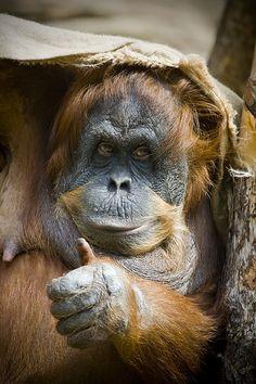 'Thumbs up' - Funny Orangutan Primates, Mammals, Animals And Pets, Baby Animals, Funny Animals, Cute Animals, Wild Animals, Beautiful Creatures, Animals Beautiful