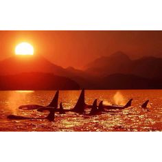 Orcas stay in pods of anywhere between 50-80 or sometimes more whales. They are family and they stick together.