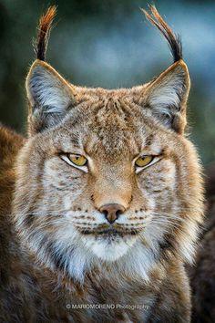 ༺♥༻ bobcat ༺♥༻