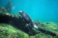 (Amblyrhynchus cristatus) Large male marine iguanas forage for algae underwater at sea Sulcata Tortoise, Giant Tortoise, Ecuador, Art Atelier, Marine Iguana, Species Of Sharks, Marine Ecosystem, Marine Reserves, Galapagos Islands