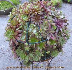 Sempervivum Globe - if it's round, plant it with hens and chicks