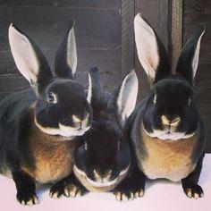 Boodly bunch of Bunniculas! They look like Dobermans! Teehee!