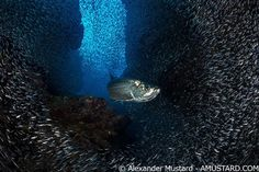 A Tarpon swimming through the schooling silversides at Devil's Grotto in Grand Cayman. Photo by Alex Mustard.