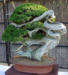 """"""" A bonsai tree can be any tree that is grown in miniature to resemble an aged tree. The more mature a bonsai tree, the more value it has. Bonsai is Japanese for 'tree in a pot'. However, simply placing a tree in a tiny pot does not. Ikebana, Plantas Bonsai, Dream Garden, Garden Art, Garden Design, Juniper Bonsai, Miniature Trees, Bonsai Garden, Cacti Garden"""