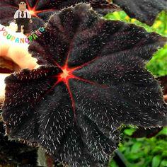 100pcs Angel Wings Plant Seeds New Varieties Of Coleus Seeds Garden Decoration * Jardin Potted Bonsai Foliage Plants Semillas .