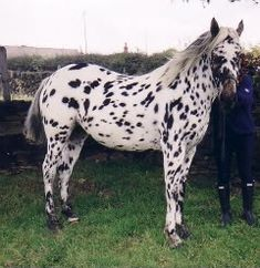 In the US, Appaloosa horses are culturally associated with the Native American tribes whose range stretched along the Palouse River in Washington and Idaho. However, spotted horses existed for hund…