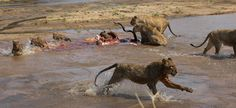 The cubs struggled in the deep water - Gary Hill Gary Hill, Deep Water, Cubs, Lions, Pride, Animals, Lion, Animales, Bear Cubs