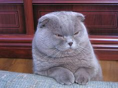 18 Delightfully Expressive Scottish Fold Cats Scottish fold
