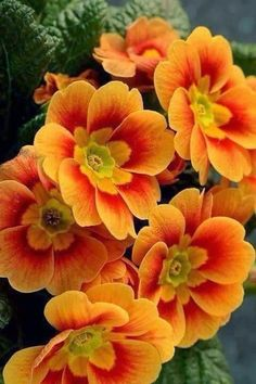 Primrose ~ Primula flowers orange red and gold colors blooms Flowers Nature, Exotic Flowers, Orange Flowers, Amazing Flowers, Pretty Flowers, Fall Flowers, Autumn Flowers Garden, Flowers Pics, Beautiful Flowers Pictures