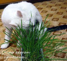 Kissan ruohoa Plants, Plant, Planting, Planets