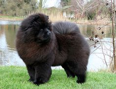 Blue Chow Chow Puppies | Iridescent Chow Chow