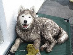 Samoyed puppy is perfectly happy to be soaked and muddy, thank you very much.