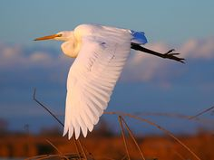 Great Egret, Sacramento National Wildlife Refuge