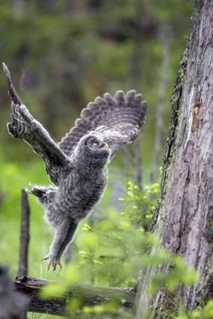 cc A great grey owl jumps onto a tree.
